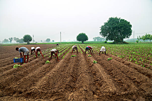 Group of people Manual Workers Planting Cauliflower in the field Located in Rural India.